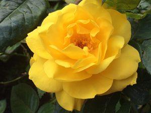 2015.05.25.rose400-02